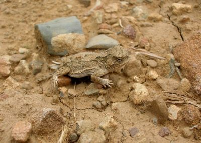 Horned Toad by Claudia Dunitz